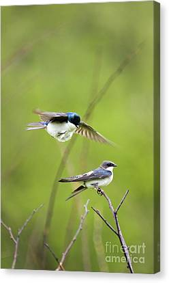 Tree Swallows - D008997 Canvas Print by Daniel Dempster