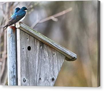 Tree Swallows On Birdhouse Canvas Print by Dan Sproul