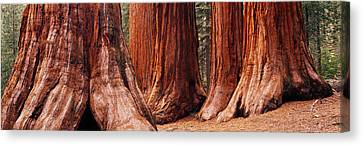 Trees At Sequoia National Park Canvas Print by Panoramic Images