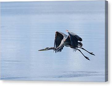 Tri Colored Heron Take Off Canvas Print by John Bailey