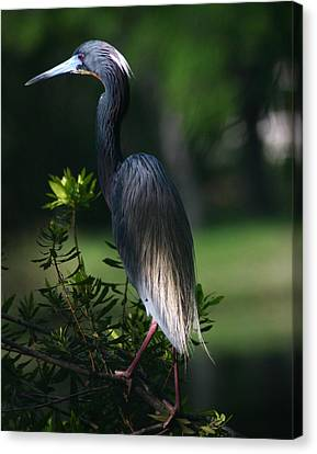 Tricolored Heron 11x14 Canvas Print by David Lynch