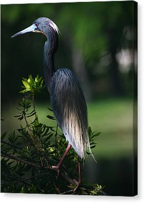 Tricolored Heron 16x20 Canvas Print by David Lynch