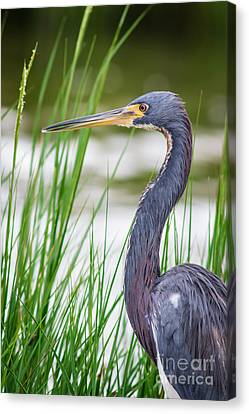 Tricolored Heron Canvas Print by Robert Frederick