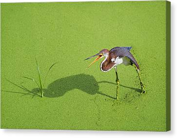 Tricolored On Green Canvas Print by Patrick M Lynch