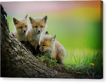 Trio Of Fox Kits Canvas Print by Everet Regal