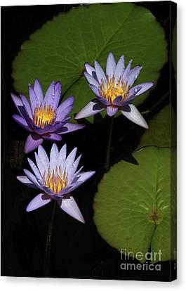 Trio Of Purple Water Lilies Canvas Print by Sabrina L Ryan