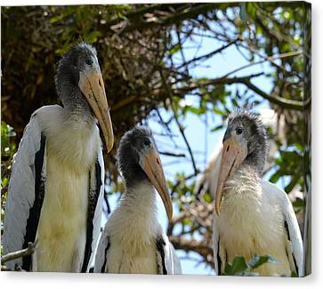 Triplet Wood Stork Nestlings Canvas Print by Richard Bryce and Family