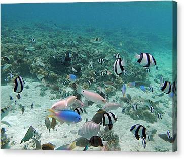 Tropical Fish, Malolo Lailai Island Canvas Print by David Wall