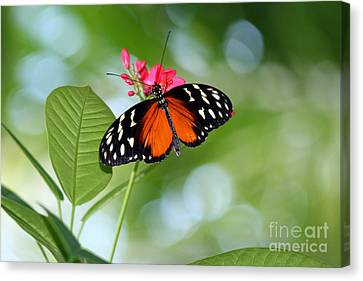 Tropical Hecale Butterfly Canvas Print by Karen Adams