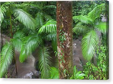 Tropical Rainforest, Mossman River Canvas Print by Peter Adams