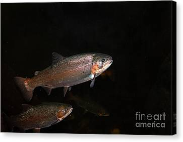 Trout 5d24842 Canvas Print by Wingsdomain Art and Photography