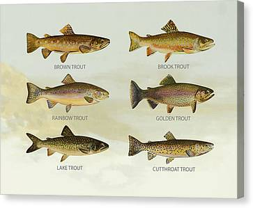 Trout Species Canvas Print by Aged Pixel