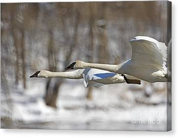 Trumpeter Swan Flyby  Canvas Print by Tim Grams