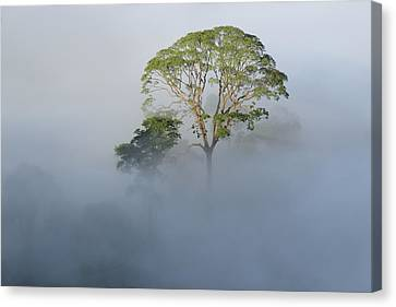 Tualang Tree Above Rainforest Mist Canvas Print by Ch'ien Lee