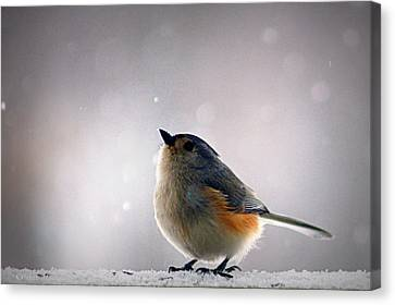 Tufted Titmouse Canvas Print by Cricket Hackmann