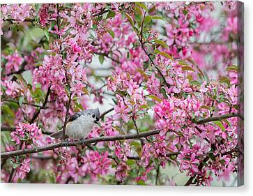 Tufted Titmouse In A Pear Tree Canvas Print by Bill Wakeley