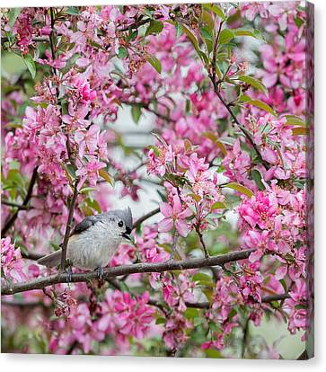 Tufted Titmouse In A Pear Tree Square Canvas Print by Bill Wakeley