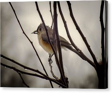 Tufted Titmouse Canvas Print by Karen Wiles