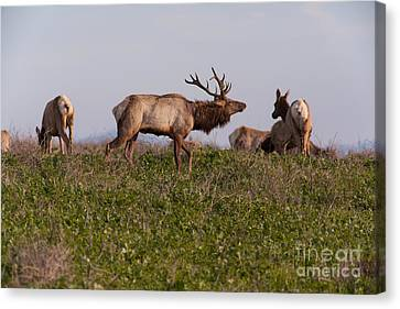 Tules Elks At Historic D Ranch At Point Reyes National Seashore California 5dimg2587 Canvas Print by Wingsdomain Art and Photography