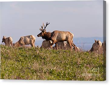 Tules Elks At Historic D Ranch At Point Reyes National Seashore California 5dimg2592 Canvas Print by Wingsdomain Art and Photography