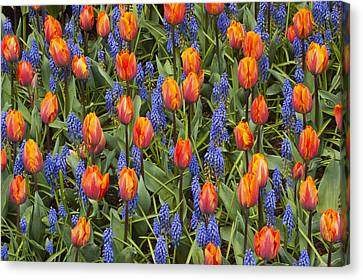 Tulip And Grape Hyacinth Canvas Print by Kevin Schafer