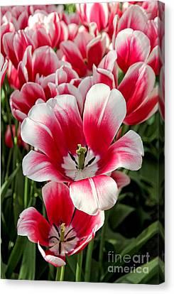 Tulip Annemarie Canvas Print by Jasna Buncic