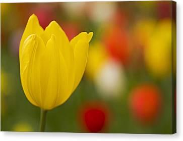 Tulip Bokeh Canvas Print by Nick  Boren