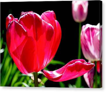 Tulip Extended Canvas Print by Rona Black