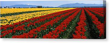 Tulip Field, Mount Vernon, Washington Canvas Print by Panoramic Images