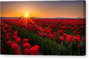 Tulip Fields Canvas Print by Alexis Birkill