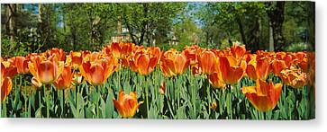Tulip Flowers In A Garden, Sherwood Canvas Print by Panoramic Images