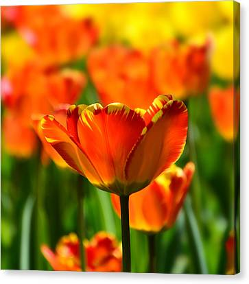 Tulip Canvas Print by Gynt
