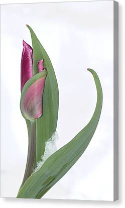 Tulip In The Snow Canvas Print by  Andrea Lazar