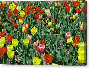 Tulip Patch Canvas Print by Aimee L Maher Photography and Art Visit ALMGallerydotcom