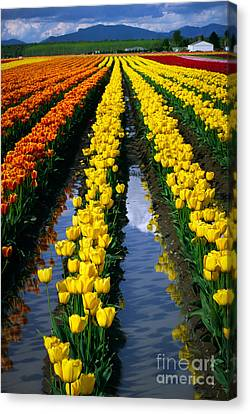 Tulip Reflections Canvas Print by Inge Johnsson