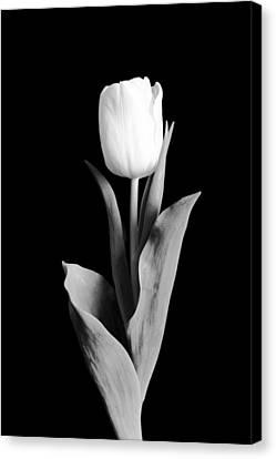 Tulip Canvas Print by Sebastian Musial