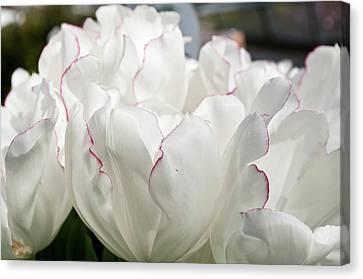 Tulip (tulipa 'diamond Jubilee') Canvas Print by Bjanka Kadic