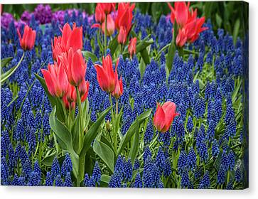 Tulips Growing Amidst Clusters Of Grape Canvas Print by Sheila Haddad