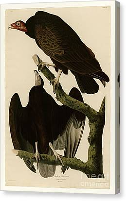 Turkey Buzzard Canvas Print by Celestial Images