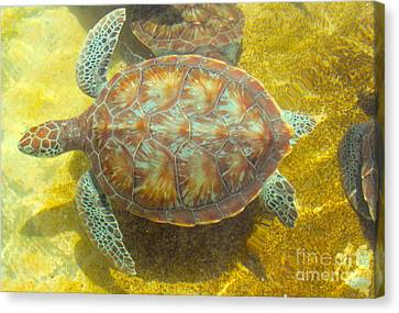 Turtle Day Canvas Print by Carey Chen