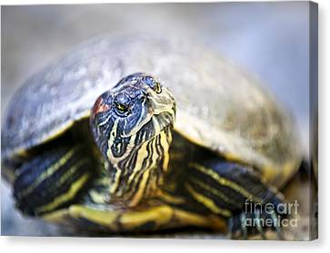 Turtle Canvas Print by Elena Elisseeva