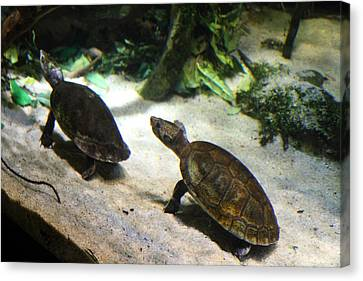 Turtle - National Aquarium In Baltimore Md - 121219 Canvas Print by DC Photographer