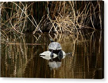 Turtle On Turtle Canvas Print by Ernie Echols
