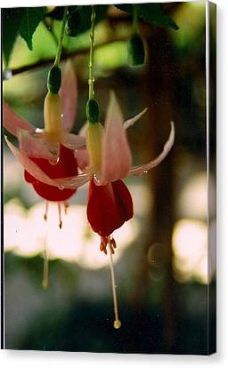 Twin Fuchsias Canvas Print by Robert Bray