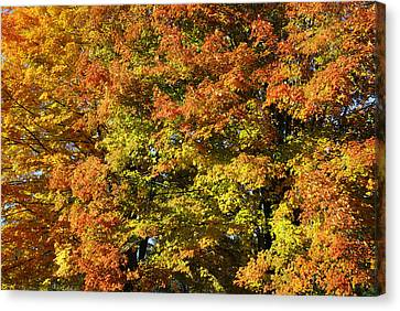 Twin Maples Canvas Print by Luke Moore