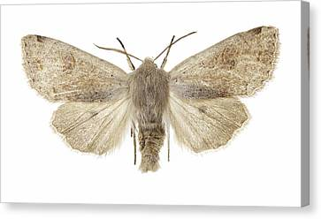 Twin-spotted Quaker Moth Canvas Print by Science Photo Library