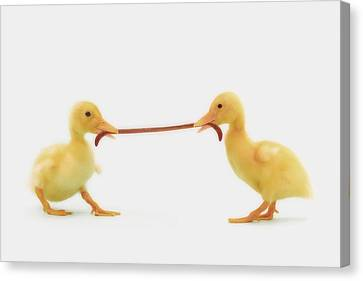 Two Baby Ducklings Fighting Canvas Print by Thomas Kitchin & Victoria Hurst