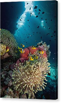 Two-banded Anemonefish And Bulb Canvas Print by Dray van Beeck