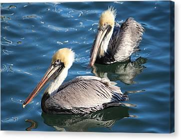 Two Beautiful Pelicans Canvas Print by Cynthia Guinn