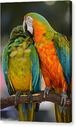 Two Colorful Macaws Canvas Print by Brandon Bourdages